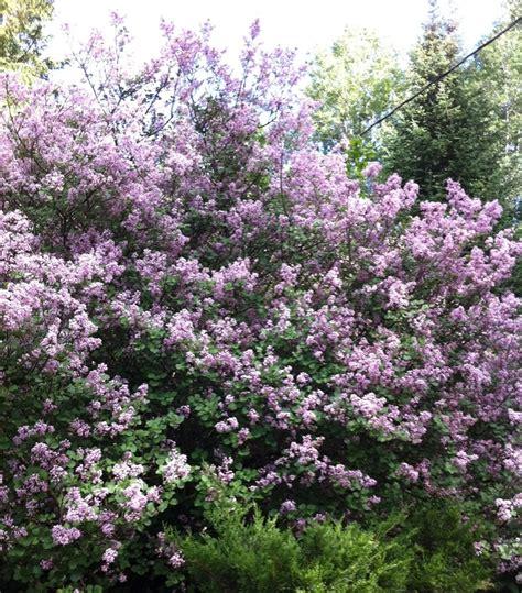 25 best ideas about dwarf lilac tree on pinterest dwarf lilac dwarf flowering trees and