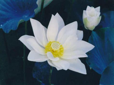 fior di loto foto fiore di loto wallpaperart