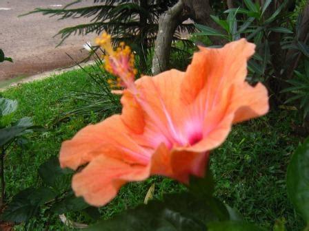 Kain Batik Kembang Sepatu hibiscus hibiscus and more hibiscus nimadesriandani