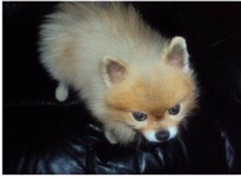 pomeranian black skin disease treatment bsd black skin disease pomeranian information center