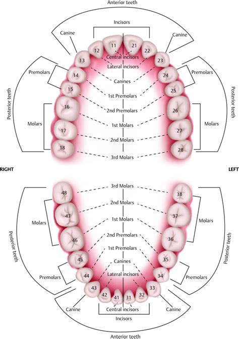 sextant of teeth pictures anterior posterior tooth chart anatomy labelled