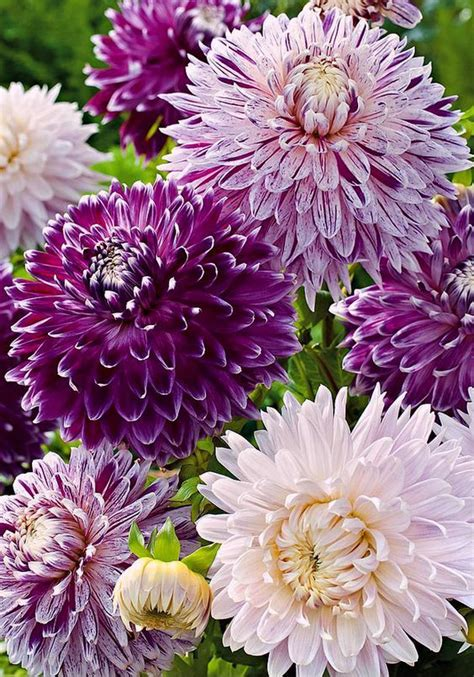 Flower Jumbo dahlias jumbo mixed beautiful flowers dahlias