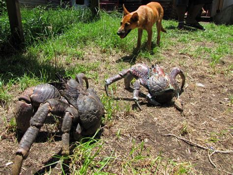 coconut crab coconut crab or camel spider which is freakiest viral