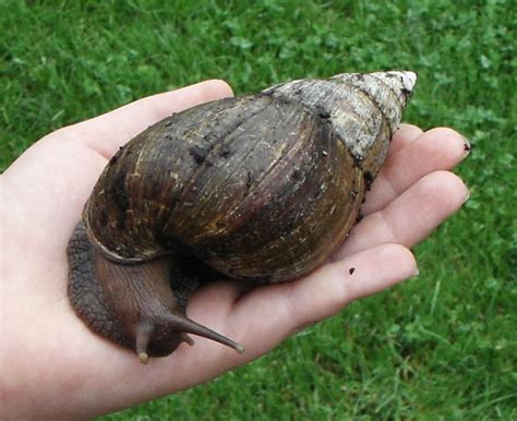 terrestrial snail pictures about animals african land snail trevor hill birds and animals