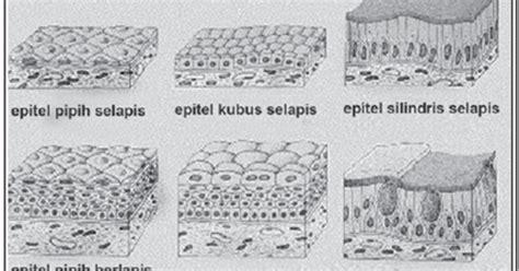 Kubus Kulit 2 epitel kubus selapis banyak dan semu pengertian