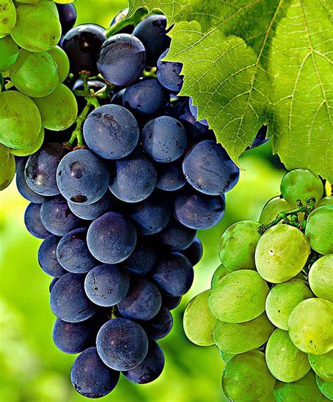 Green Kitchen Design Ideas Buy Grape Vine Bakker Com