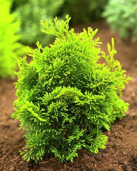 hinoki false cypress chamaecyparis obtusa hinoki cypress plants flowers 99roots com