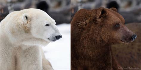 polar bear polar bear polar bear grizzly bear hybrid
