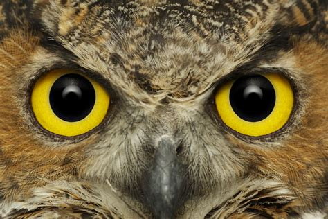 eyes great horned owl intense bill frymirebill frymire