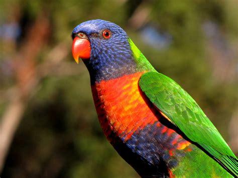 rainbow lorikeet echidna walkabout nature tours