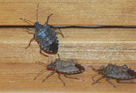 how to keep stink bugs out of your house how to keep stink bugs out of your house this season wtop