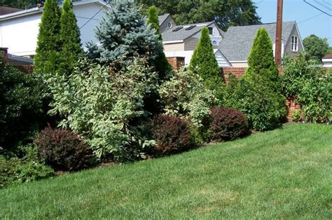 fence line planting hollies arborvitaes a albert