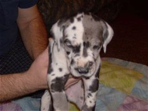 merle great dane puppies for sale great dane puppies for sale