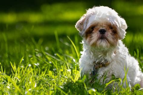 shih tzu guide shih poo complete guide on shih tzu and poodle mix animalso