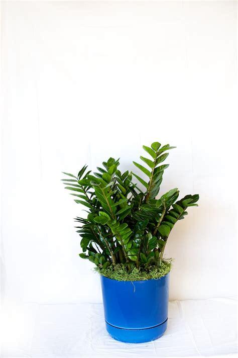 zz plant care metropolitan wholesale metropolitan