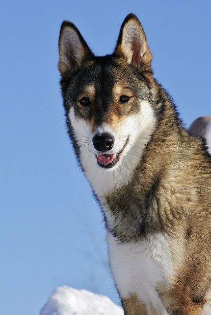 free puppies in east 17 best images about east siberian laika on other the east and image search