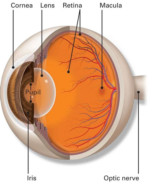 Part Of The parts of the eye american academy of ophthalmology