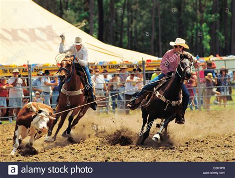 australian cattle cowboys two cowboys roping cow at rodeo queensland australia