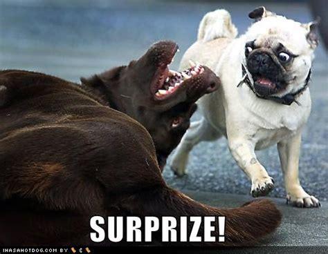 pug birthday ecards surprises pug