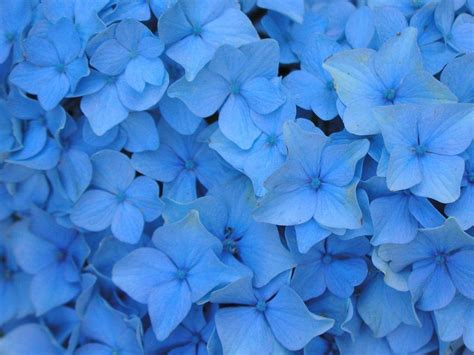 blue flowers picture tiny flowers in bloom light colored blue flowers backgrounds wallpaper cave