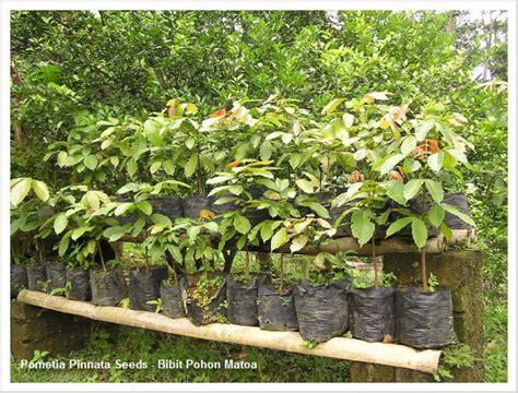 jual tanaman hias bibit pohon matoa