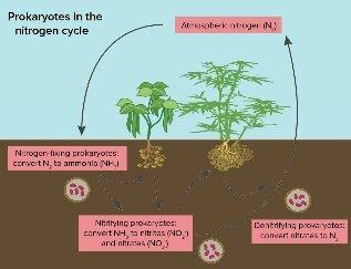 what is the role of nitrogen fixation in agriculture quora