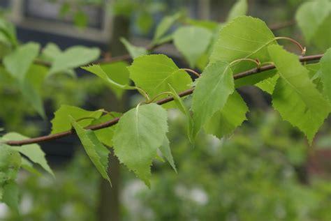 beukenblad goed in de tuin de beuken zijn uitgelopen uit de natuur of je tuin het