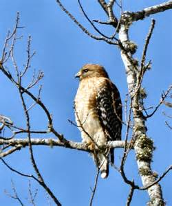 sc south carolina bird pictures page prey birds