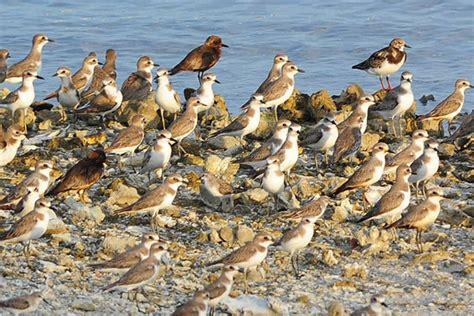 Minyak Ikan Burung burung migran bermandi tumpahan minyak di bali mongabay co id