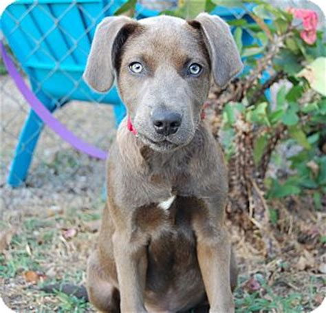 weimaraner puppies for sale in florida gorgeous weimaraner puppies for sale adoption dogs breeds picture