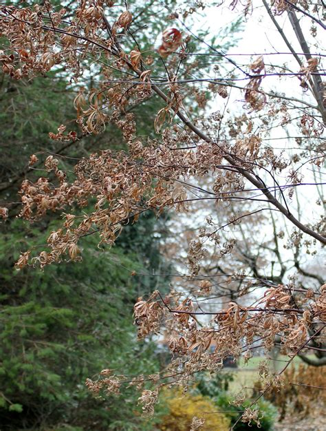 maple tree brown leaves what s killing the japanese maples garden housecalls