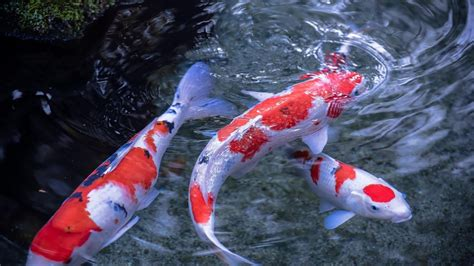 koi free live wallpaper full version for pc image gallery koi live wallpaper