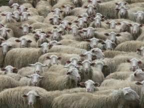 alimentazione pecore montoni pecore e agnellini vegamami