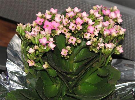 pianta grassa con fiori pianta grassa con fiori