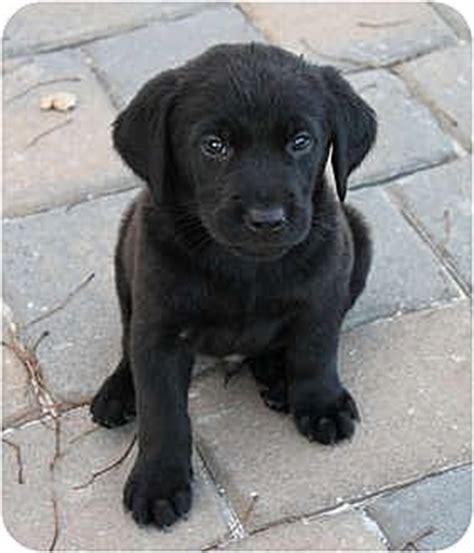 golden retriever lab mix rescue elk grove ca labrador retriever golden retriever mix meet decoy a puppy for adoption