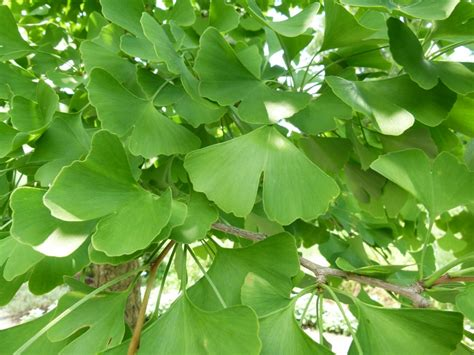 ginkgo tree medicinal uses and side effects loved by some and hated by others why