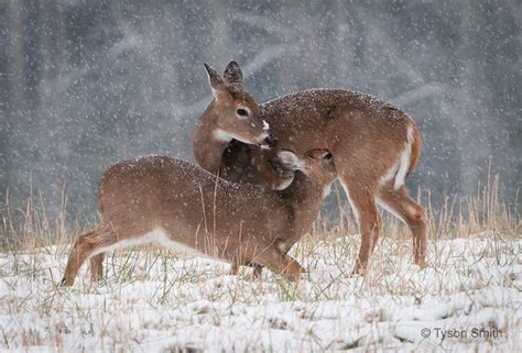 Ts Deers deer in cades cove snow fall smoky mountain school of