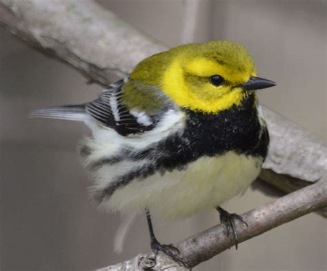 what warbler has a yellow head black throat and vivid
