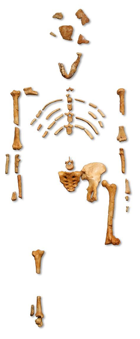 Skeleton L by Australopithecus