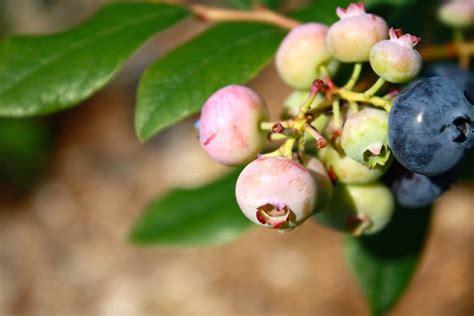 celtic cross blueberries hockessin delaware harvest