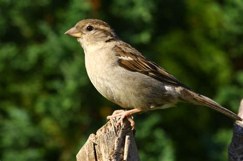 english house sparrow file female house sparrow jpg