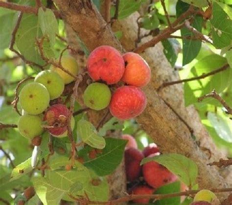 Jual Bibit Buah Tin Area Malang benih buah tin ara fig bibitbunga