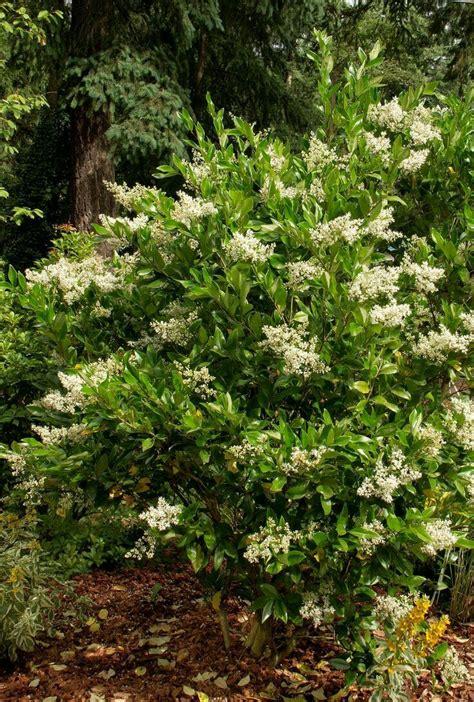 44 best large zone 7 shrubs images on pinterest zone 7