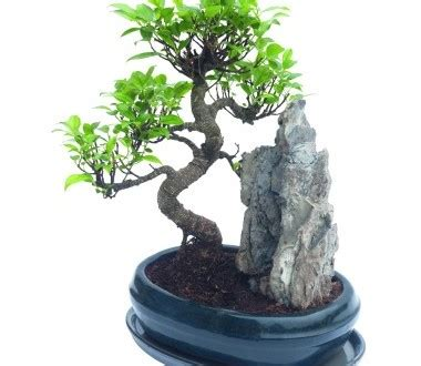 bonsai interieur jardiland le ficus ginseng comme plante d 233 corative