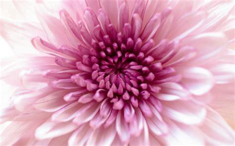 fiori a novembre i fiori mese di novembre i crisantemi sanremofiorita