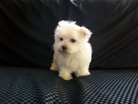 maltese puppies for sale louisiana maltese puppies for sale in louisiana maltese acres
