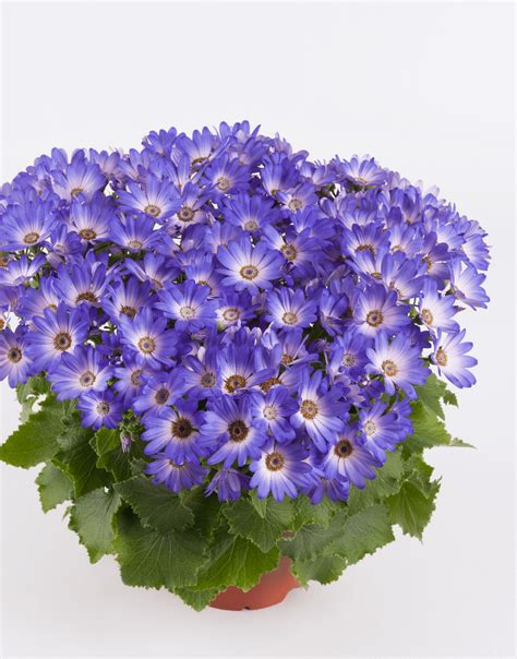 senetti magic blue spring garden colours pericallis