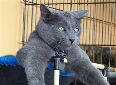 Blackpanda Bp 207 Cgrey black cat with green breed cats types