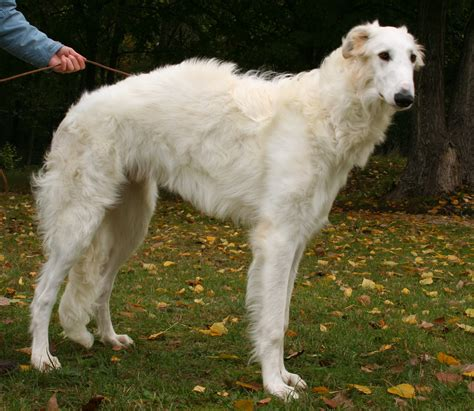 russian wolf borzoi info mixes temperament puppies pictures