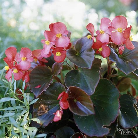 are begonias annuals or perennials